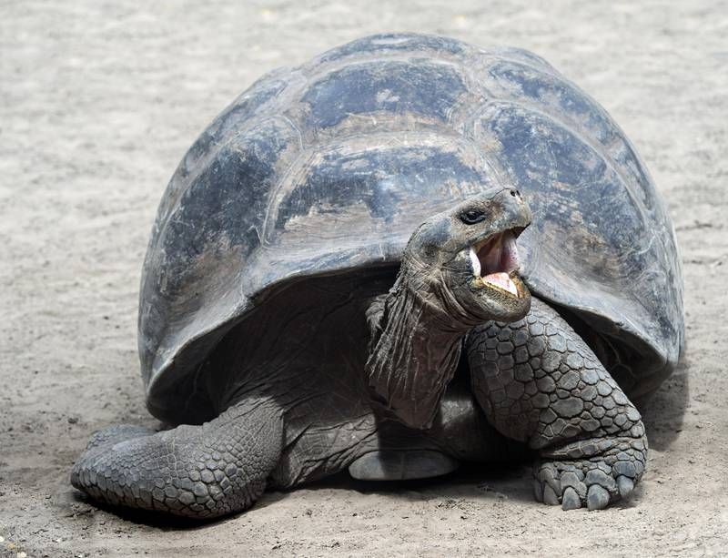 Galapagos giant tortoise (Chelonoidis nigra ssp), Isabela Island, Galapagos Islands, Ecuador, South America