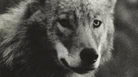 Ingenting er så talende for hvordan vi behandler naturen som ulvespørsmålet, skriver Bernhard Ellefsen.