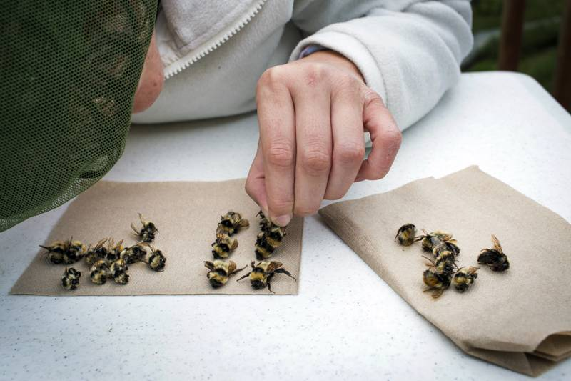 A researcher who is part of a team that embarked on a 1,000 mile long bee-hunting road trip, examines bees at the Bombus Polaris at the Toolik Field Station in Alaska, July, 2016. The researchers scoured the wilds of northern Alaska for Bombus polaris, a big bee that has adapted to the cold and that can teach them more about the effects of climate change. Katie Orlinsky / The New York Times / NTB